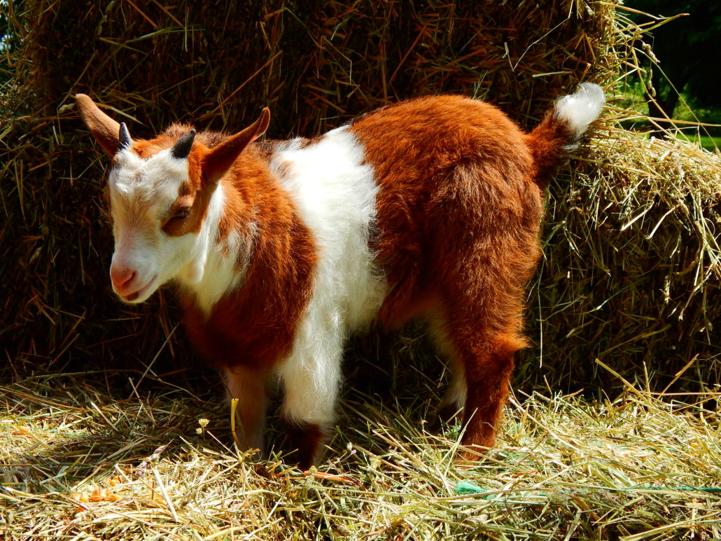 miniature, horned, polled