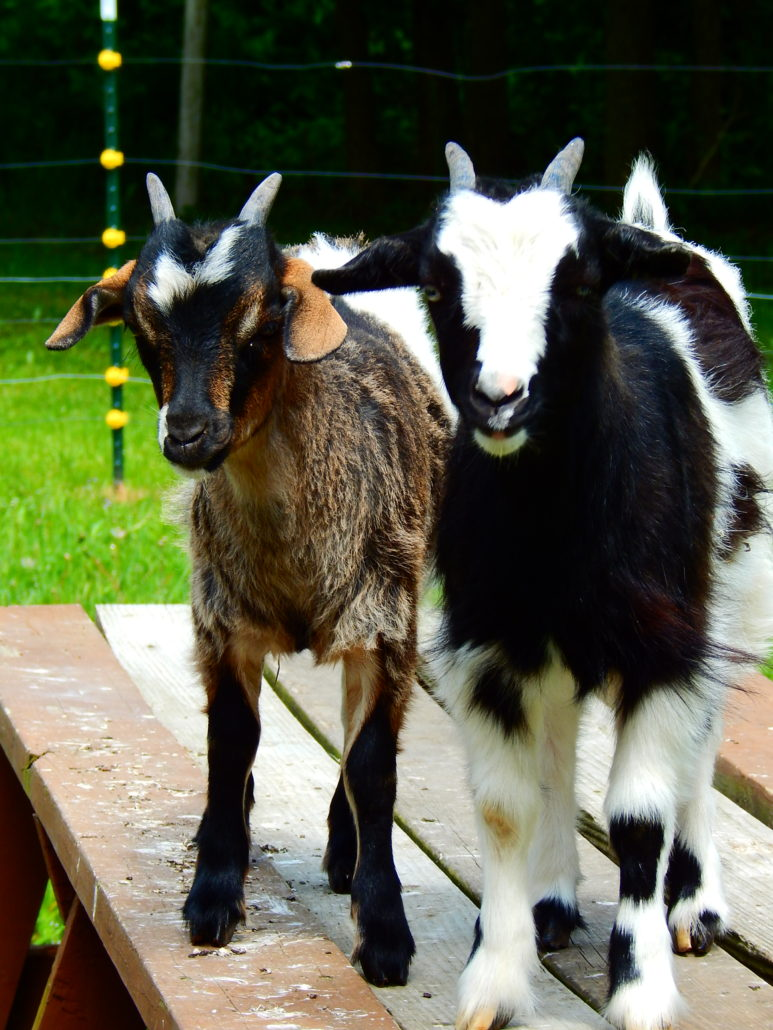 miniature fainting goats for sale, ohio, myotonic goats for sale