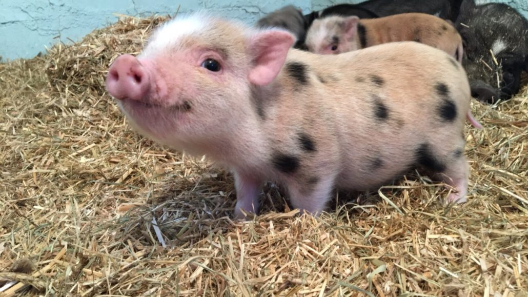 piglets for sale